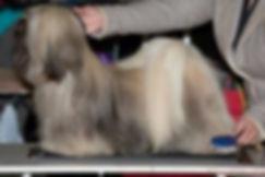 lhasa apso lhasa apso kennel lhasa aspo pups lhasa apso fokkers