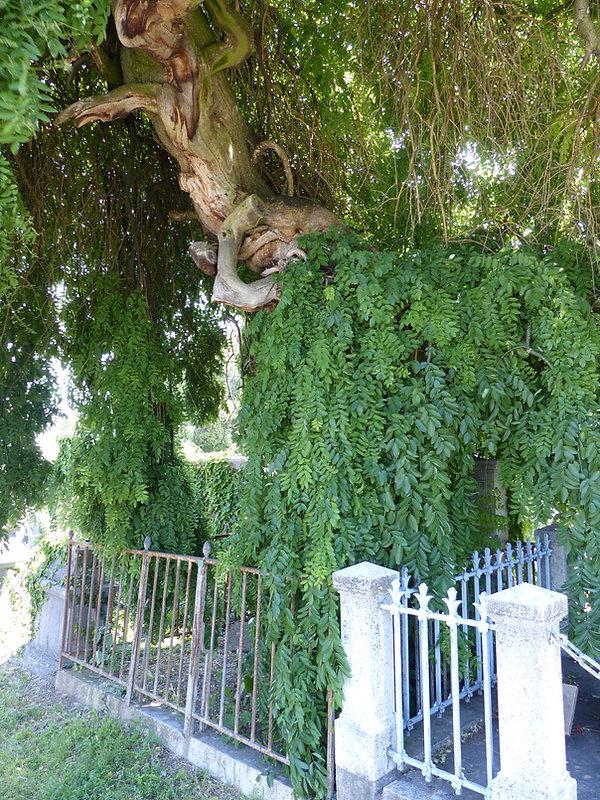 arbre loyasse.JPG