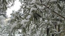 Des oliviers sous la neige