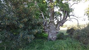 Eiche Rothenmoor