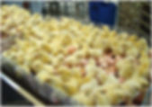 04_Eclosoir_industriel.jpg