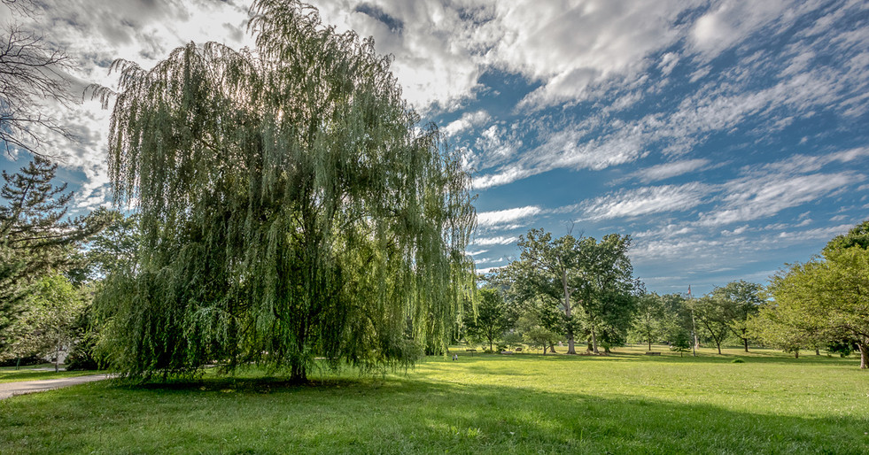 Anderson Park Willow