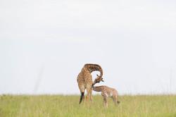 Moving fauna