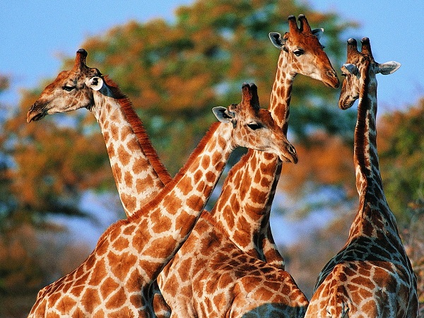 Group-Of-Giraffe-Wallpapers