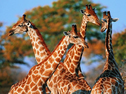Group-Of-Giraffe-Wallpapers