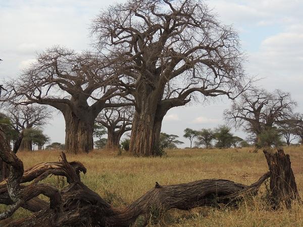 Adansonia_digitata_-_baobabs