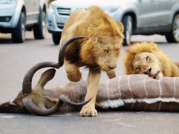 Lions-wrestle-kudu-at-Kruger-National-Park