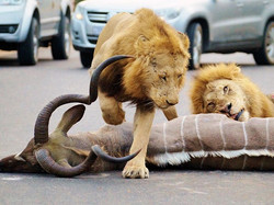 Lions-wrestle-kudu-at-Kruger-National-Park