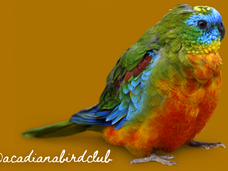 Red Rumped Parakeets are natural beauties, easy care and best kept in pairs.