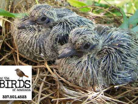 Hatchling, nestling or fledgling:  To help or not to help?