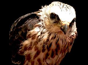 Adopt a Bird Chip Mississippi Kite Acadiana Wildlife Education Rehabilitation