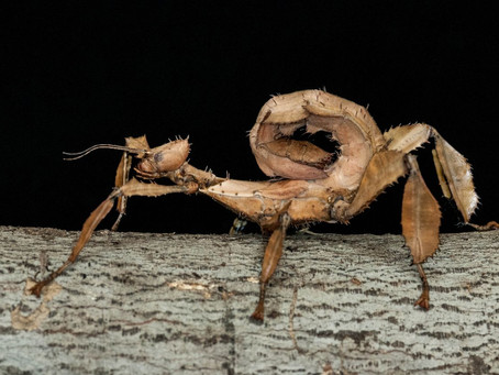How To Best Care For Your Spiny Leaf Stick Insect