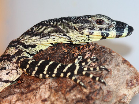 How To Best Care For Your Lace Monitor