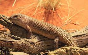 How To Best Care For Your Gidgee Skink