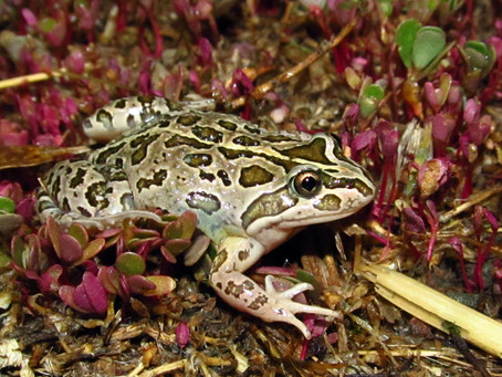 How To Best Care For Your Spotted Marsh Frog