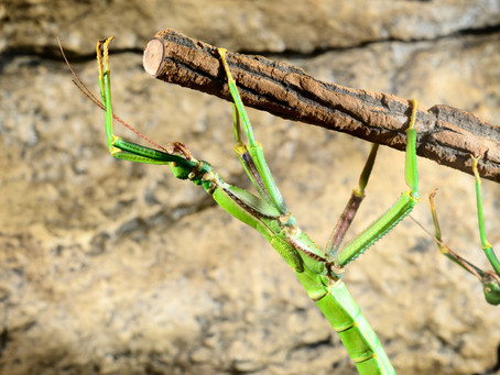 How To Best Care For Your Goliath Stick Insect