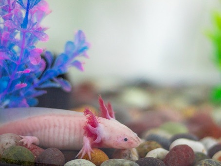 How To Best Care For Your Axolotl