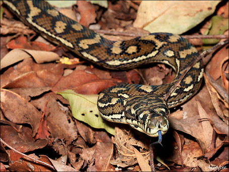 How To  Best Care For Your Carpet Python