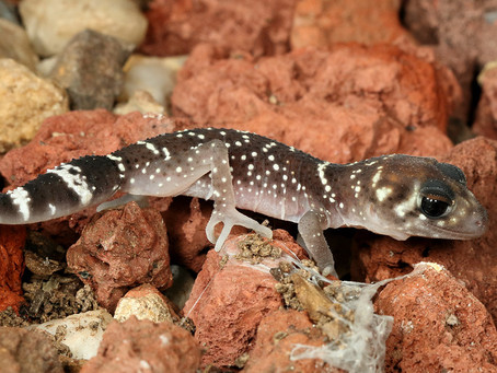 How To Best Care For Your Thick-Tailed Gecko