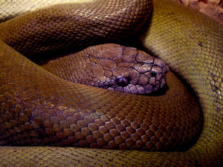 How To  Best Care For Your Olive Python