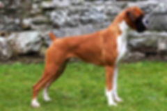 Bessbox Boxers Show Kennel Irelands Top Show Kennel and Breeder of Boxer Puppies.