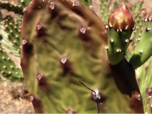 BIOSECURITY UPDATES OPUNTIOID CACTI: Best practice Control Manual