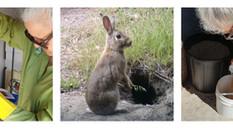 Rabbit Control Calicivirus RHDV1-K5 Release Program