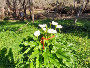 Have you spotted any Arum Lily lately?