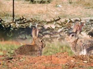 Feral Rabbit Control
