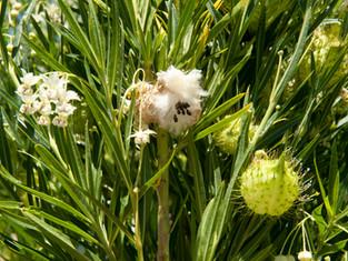 Narrow Leaf Cotton Bush never sleeps
