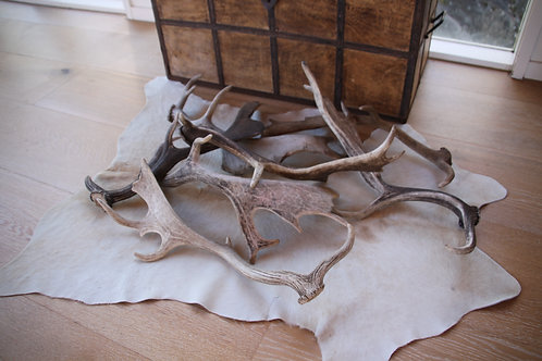 naturally shed antlers