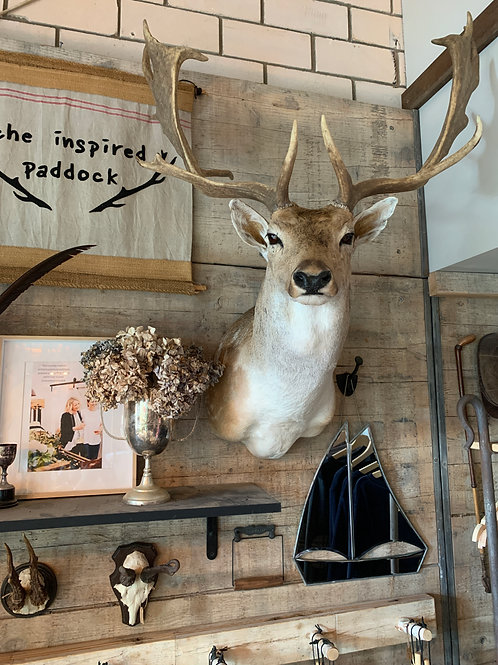 Taxidermy - Fallow Stag