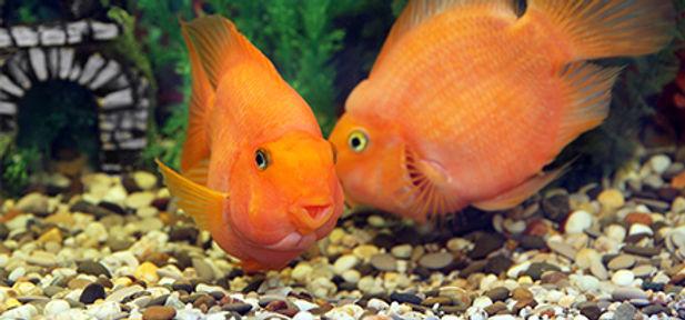 Orange fish