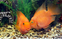Orange Fische