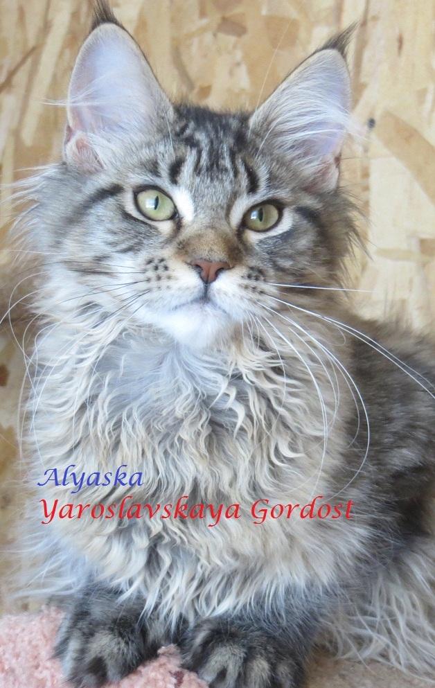 Alyaska Yaroslavskaya Gordost 4 мес.