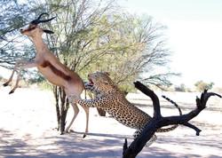 Leopard catch copper springbuck