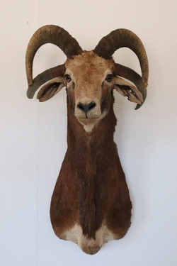 Domestic Sheep with 4 horns