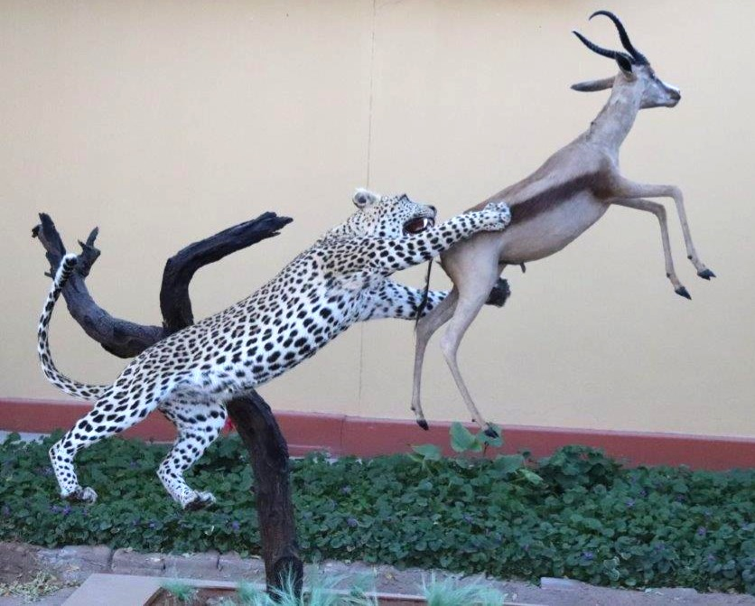 Leopard catch copper springbuck (4) (1)_