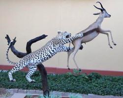 Leopard catch copper springbuck (4) (1)_