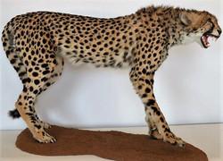 Cheetah full mount agressive  (1)1