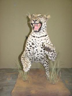 Leopard aggressive