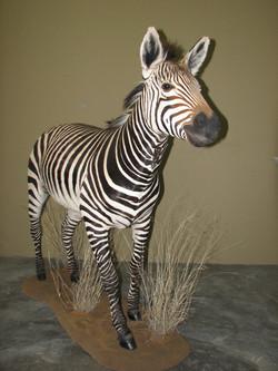 Zebra Full Mount (2)