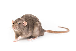 Brown rat isolated on white background.j