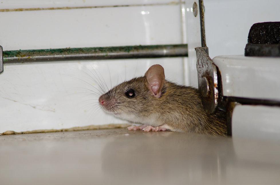 Black rat (Rattus rattus). Pajonales. In