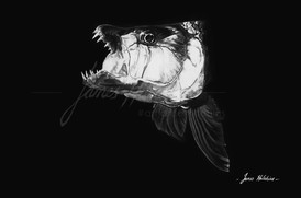 Tigerfish Head