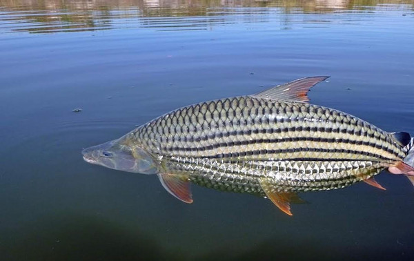 Tigerfish Release