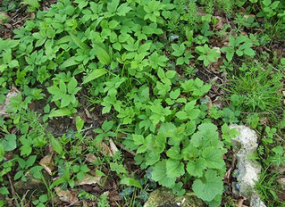 Smoked eel, forced rhubarb and ground elder