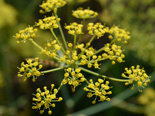 Collecting fennel pollen