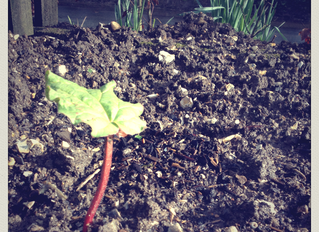 Our first Rhubarb
