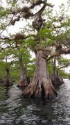 lake norris dwarf cypress tree